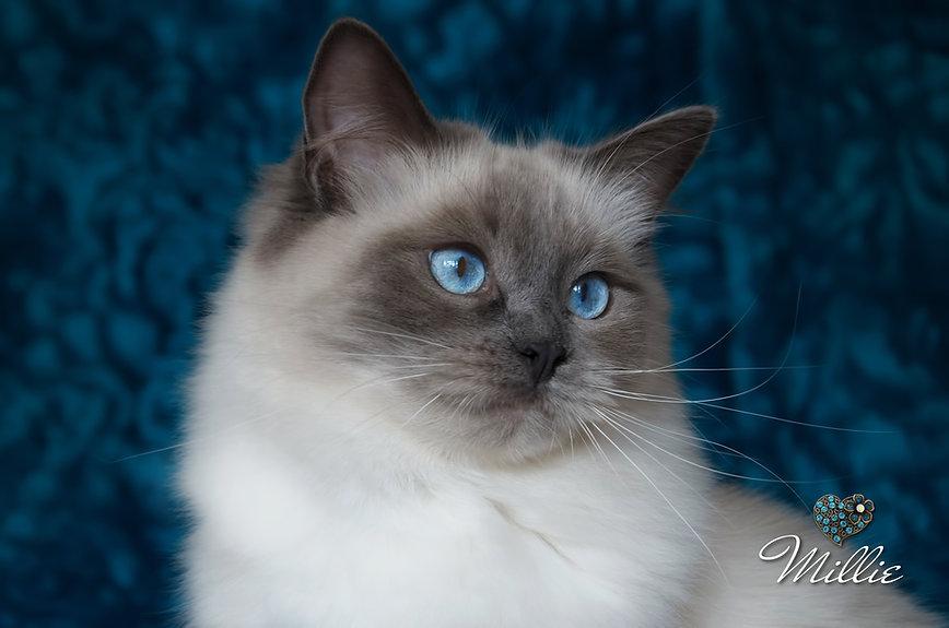 Blue Colourpoint Ragdoll Cat, ragdoll breeder UK, ragdoll kittens, ragzndreams ragdolls