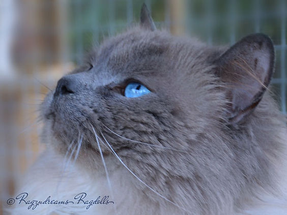 Ragdoll Breeder UK