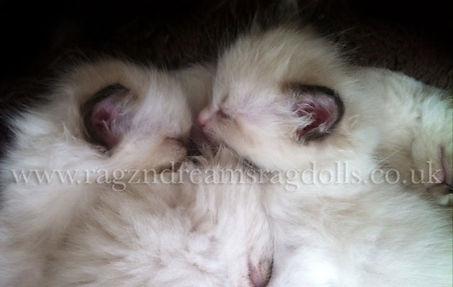 Ragzndreams Ragdolls Ragdoll Kittens Available