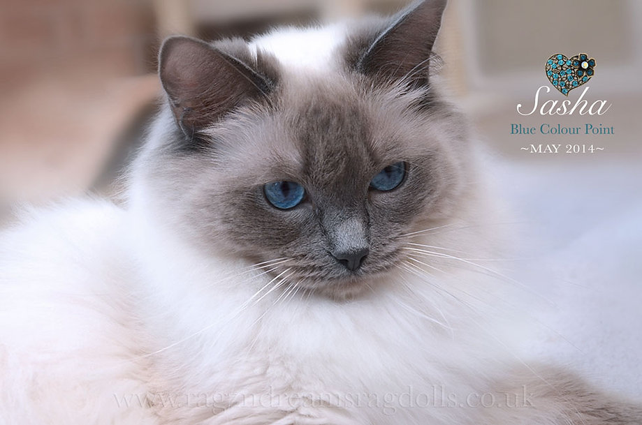 Ragdoll Kittens, Ragdoll Breeder UK, Ragzndreams Ragdolls, Blue Colourpoint Ragdoll