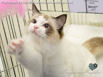 seal bicolour ragdoll kitten, ragdoll breeder UK, ragdoll kittens available UK, ragzndreams ragdolls