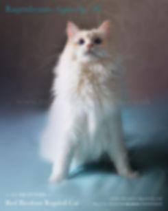 red bicolour ragdoll cat, ragdoll breeder UK, ragdoll kittens available UK, ragzndreams ragdolls