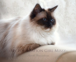 Seal Mitted Ragdoll Cat