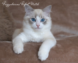 Blue Tabby Bicolour Ragdoll Kitten