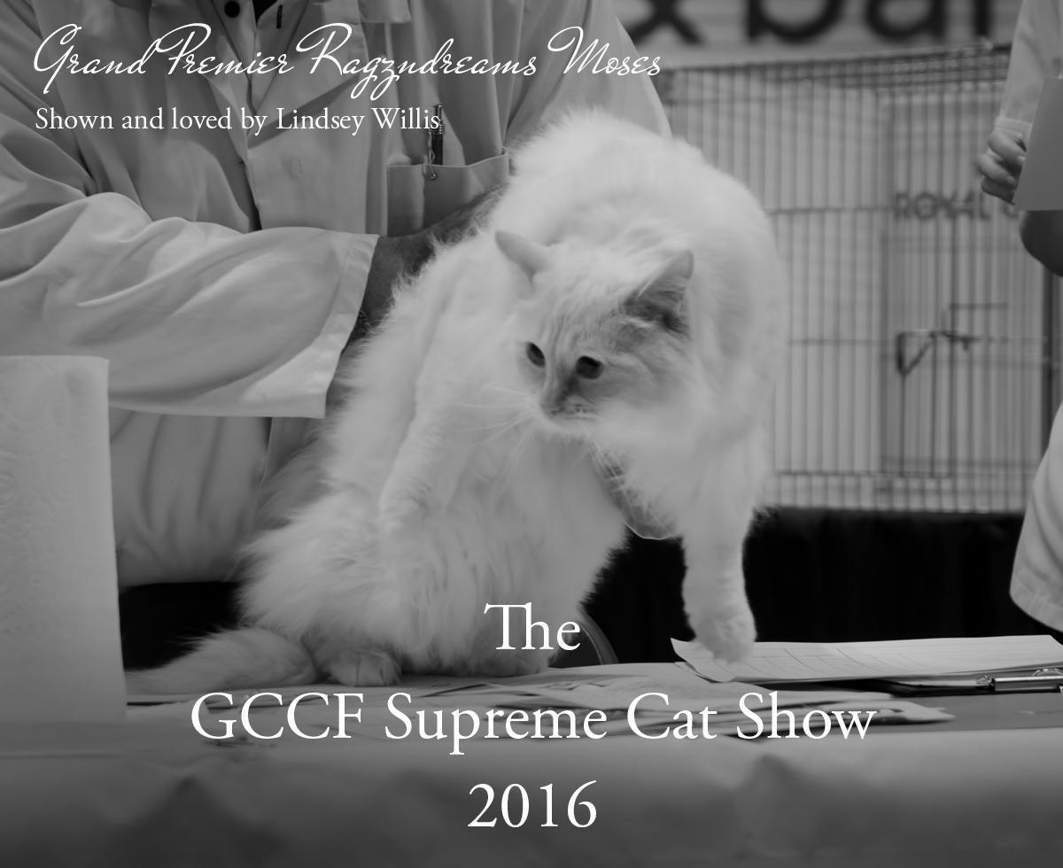 Ragdoll Cat GCCF Supreme Cat Show