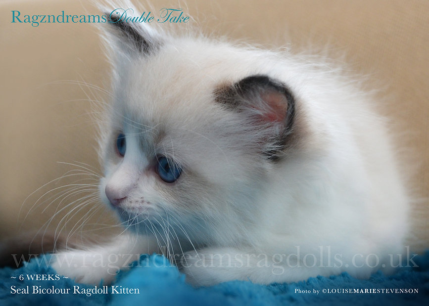 Seal Bicolour Ragdoll, ragdoll breeder UK, ragdoll kittens, ragzndreams ragdolls