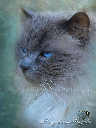 Ragdoll Cat Breeder UK