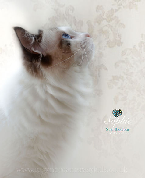Ragdoll Kittens,Ragdoll Breeder UK, Ragzndreams Ragdolls, Seal Bicolour Ragdoll