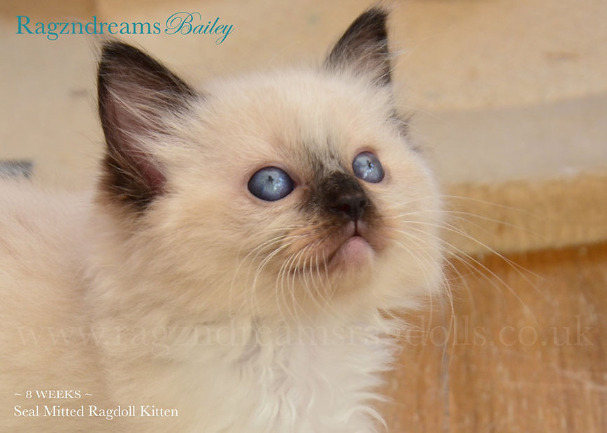 seal mitted ragdoll, ragdoll breeder UK, ragdoll kittens, ragzndreams ragdolls