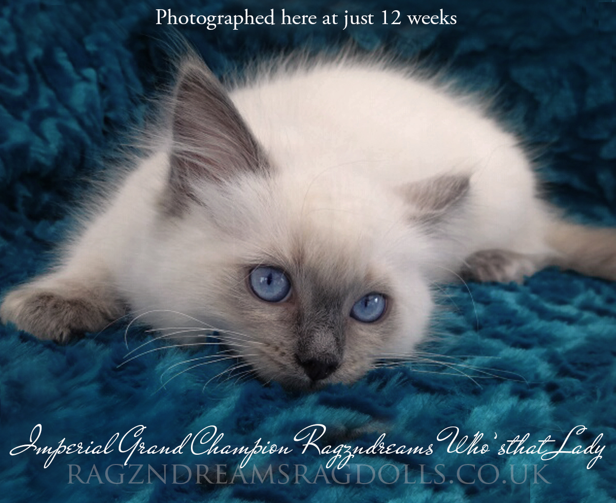 Blue Colourpoint Ragdoll Kitten