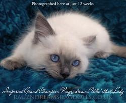 Blue Colourpoint Ragdoll Kitten