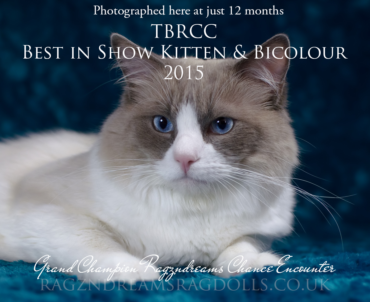 Blue Bicolour Ragdoll Cat