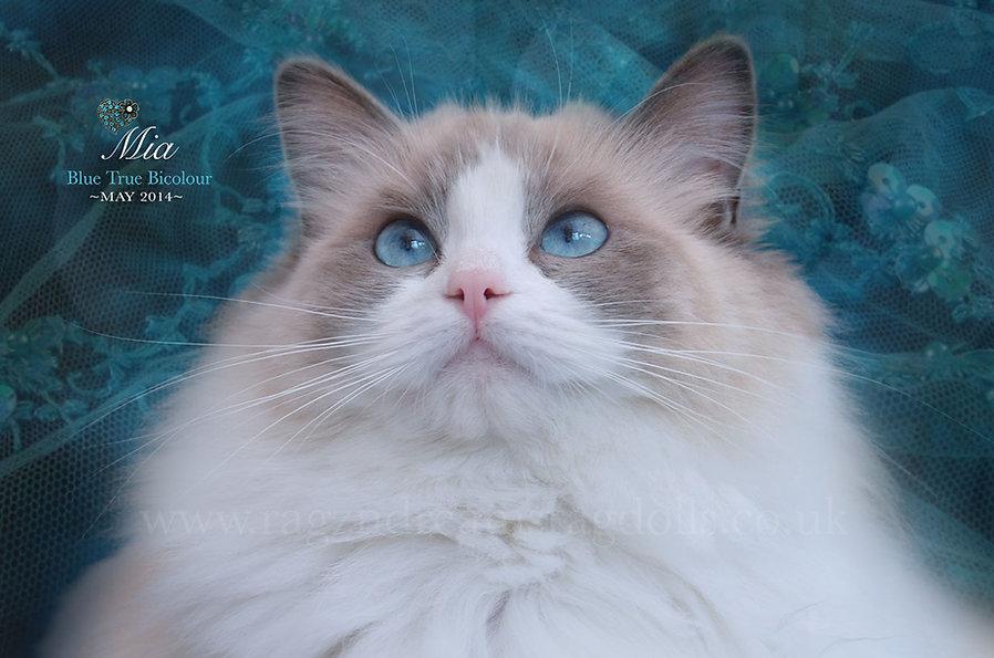 Ragdoll Kittens,Ragdoll Breeder UK, Ragzndreams Ragdolls, Blue Bicolour Ragdoll