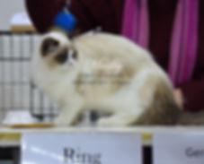 Ragdoll Breeder UK, Seal Bicolour Ragdoll Kitten - Marley 6 months