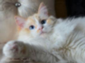 ragdoll kittens, ragdoll breeder UK, red bi colour ragdoll