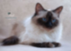 Ragdoll Kittens,Ragdoll Breeder UK, Ragzndreams Ragdolls, Seal Colourpoint Ragdoll