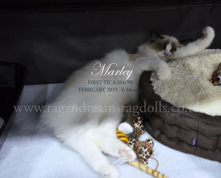 Ragdoll Breeder UK, Seal Bicolour Ragdoll Kitten - Marley 6 months