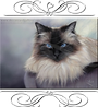 ragdoll cat cards,pedigree breed cat cards,fine art cat cards,louisemariefineart,louisemariestevenson,feline artist