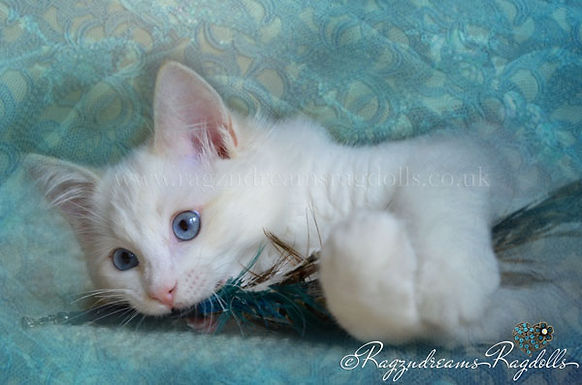 Ragzndreams Ragdolls Ragdoll Kittens Available