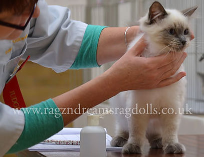 seal colourpoint ragdoll kitten, ragdoll breeder UK, ragdoll kittens available UK, ragzndreams ragdolls