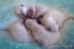 ragdoll breeder uk, ragdoll kittens available uk