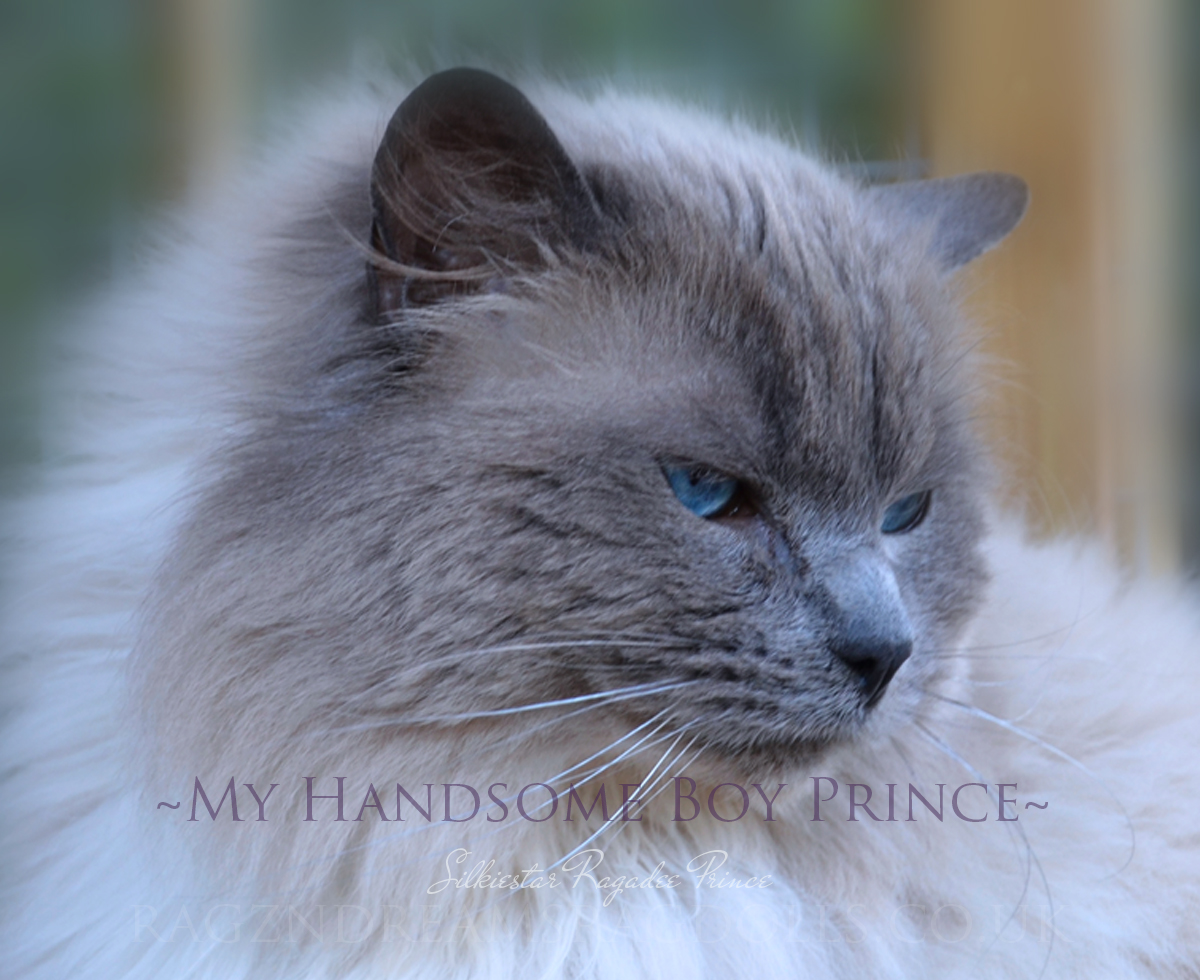 Blue Colourpoint Ragdoll Stud