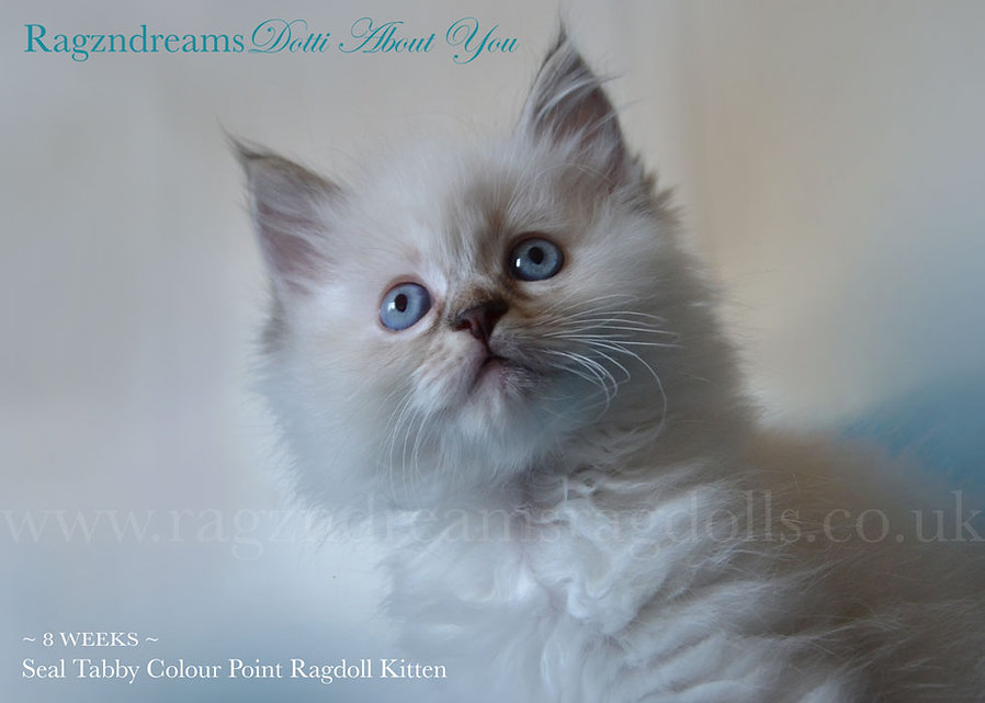 seal tortie Colour point ragdoll cat