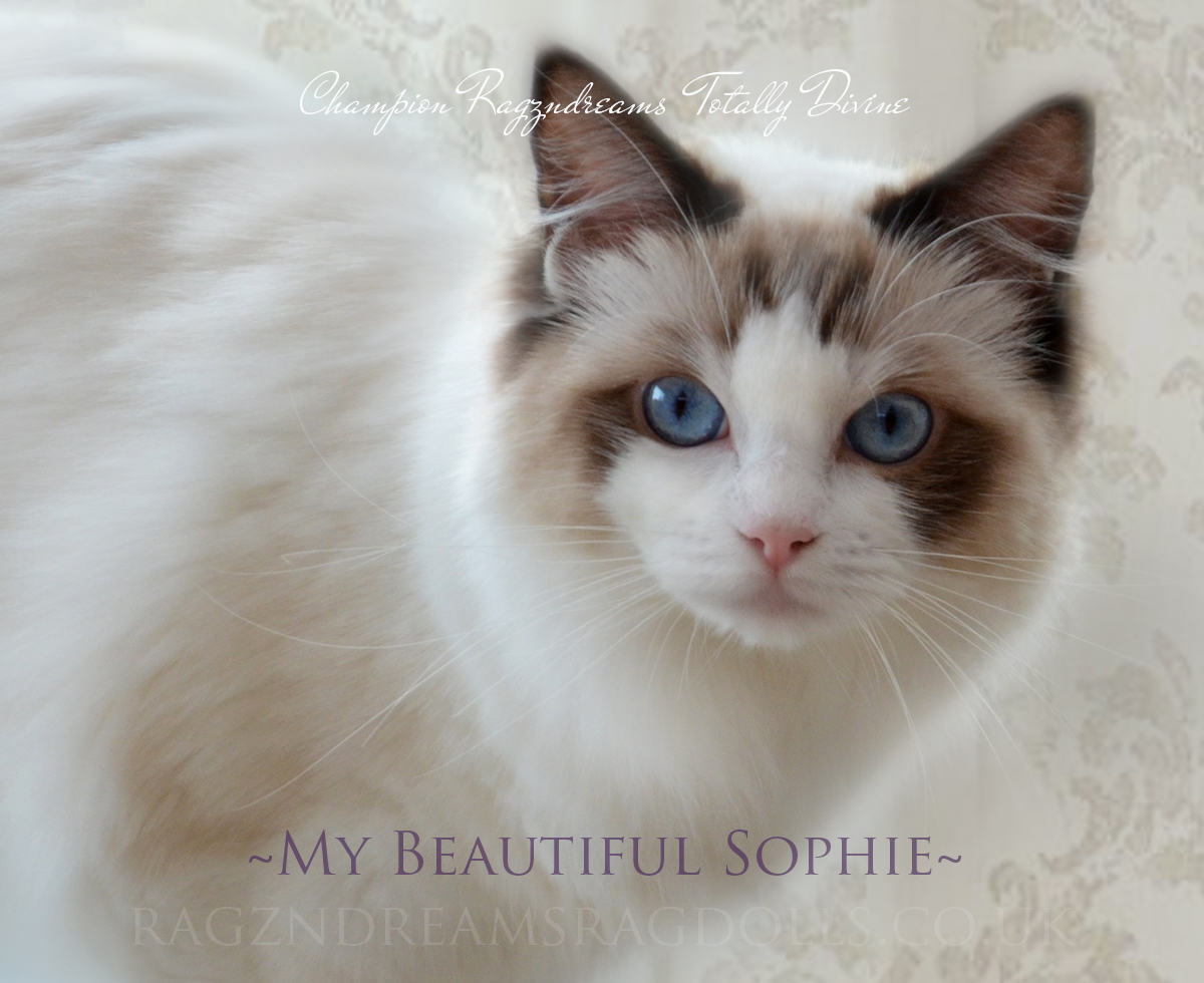 Seal Bicolour Ragdoll Cat