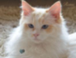 red bicolour ragdoll kitten, ragdoll breeder UK, ragdoll kittens, ragzndreams ragdolls