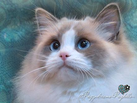 Ragdoll Kittens,Ragdoll Breeder UK, Ragzndreams Ragdolls, Blue Bicolour Ragdollrpoint Ragdoll