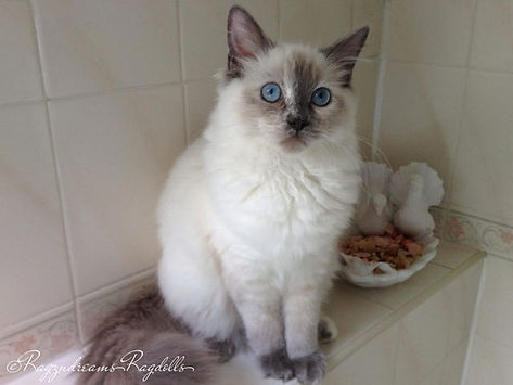 ragdoll kittens, ragdoll breeder UK, blue cream torte ragdoll