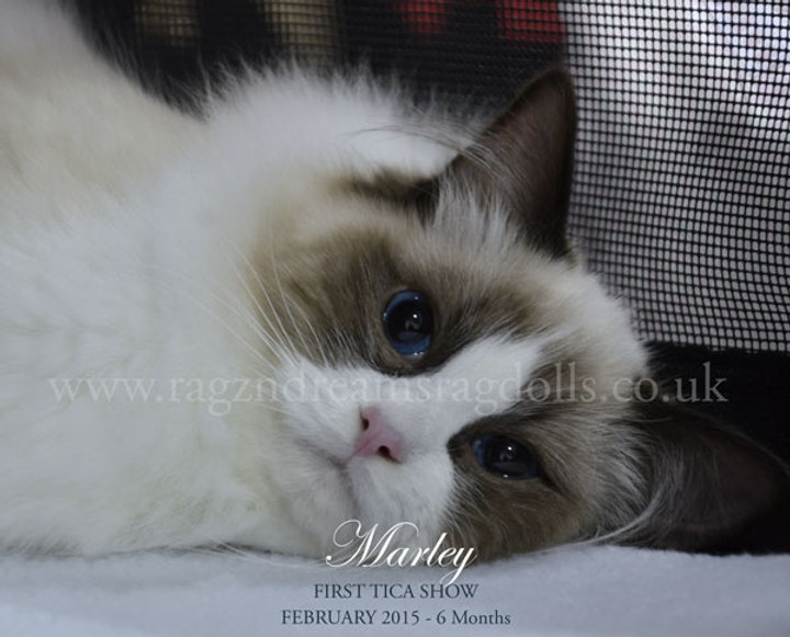 Ragdoll Breeder UK, seal bicolour ragdoll kitten