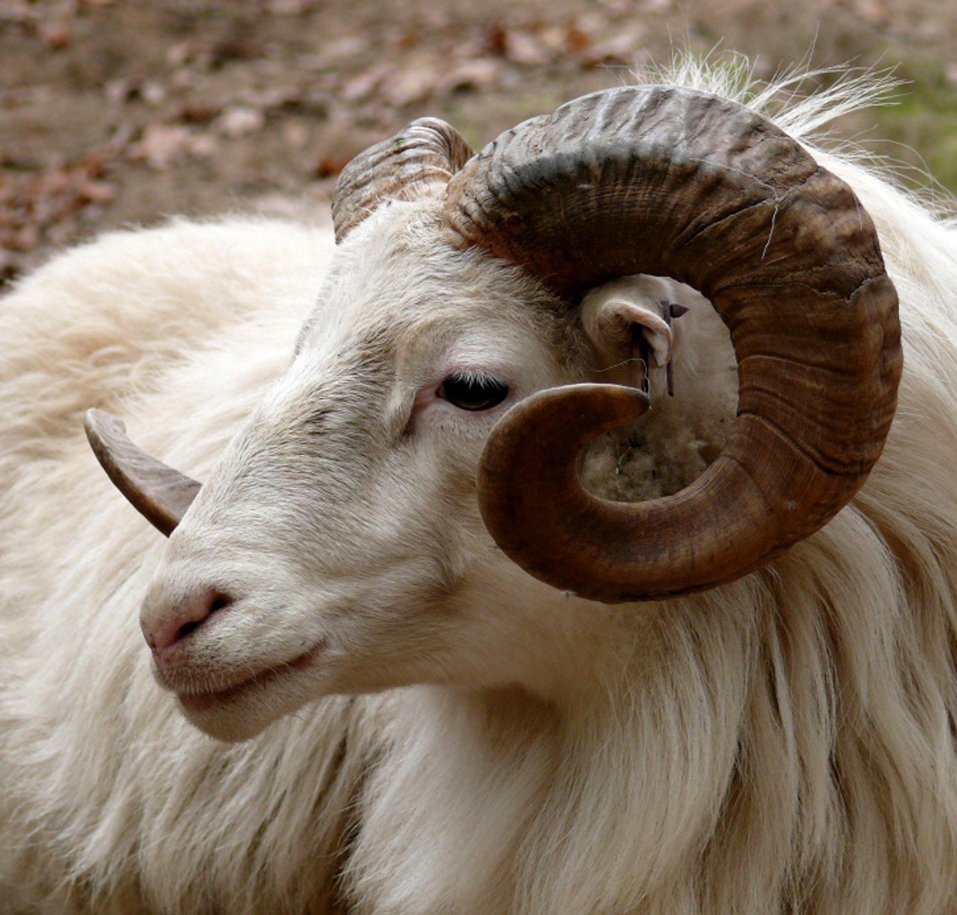 Ram 3