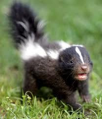 Skunked Again!