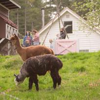 Visit the alpaca