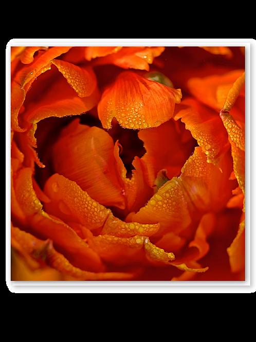 Dew kissed tulip