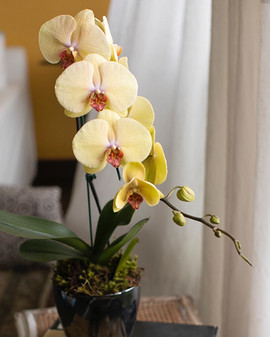 Orquídea Phalaenopsis Cascata