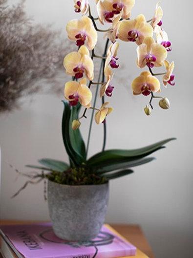 Orquídea em vaso de cimento texturizado