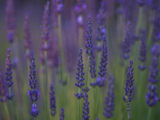 Having trouble growing lavender?