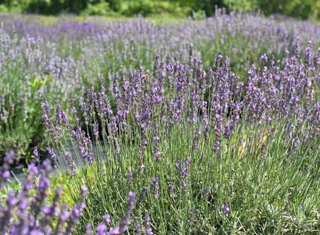 Relax with a massage in the lavender field