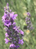 How to kick start your lavender!