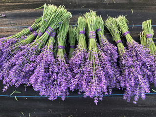 FAQs about our Lavender Field Days  (everything you wanted to know and more)