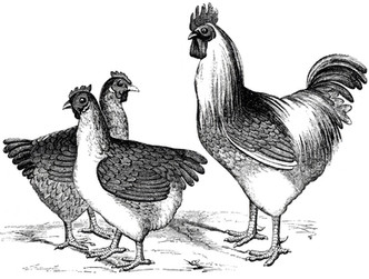 Free-Vintage-Chicken-Graphics-GraphicsFa