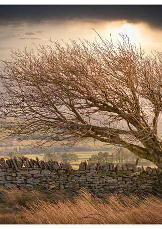 Alston - Windblown Tree