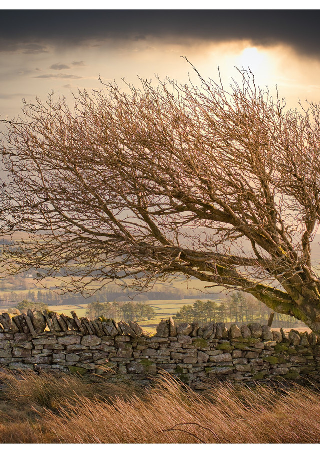 Alston - Windblown Tree