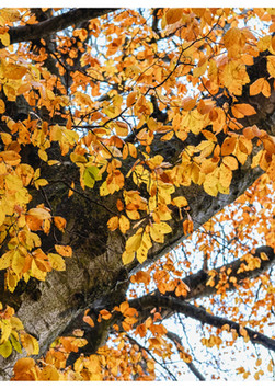 Autumn - Brewery Tree