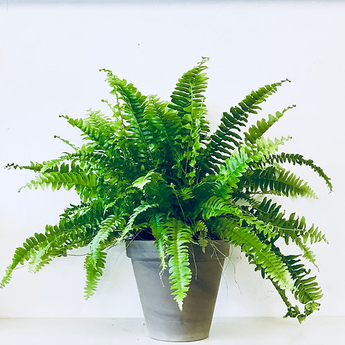 Boston fern in grey pot