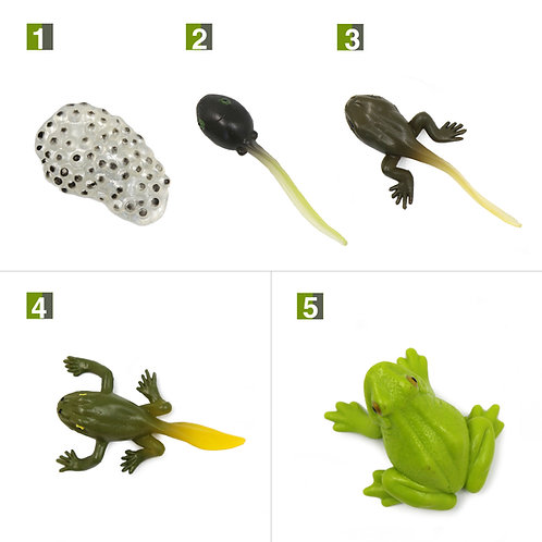 Life Cycle Stages of a Frog Montessori Zoology