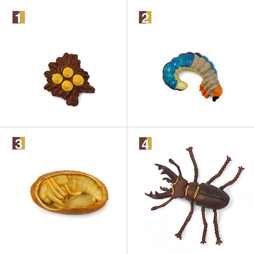 Life Cycle Stages of a Stag Beetle Montessori Zoology