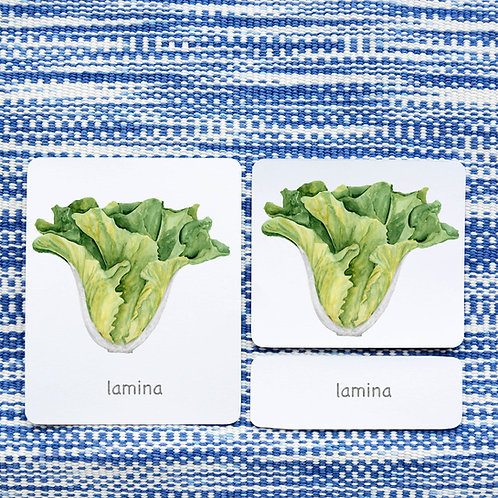 PARTS OF: LETTUCE VEGETABLE